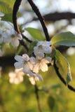 在开花的樱桃,春天分支的细节在阳光下 图库摄影