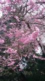 在开花的樱桃 免版税库存照片