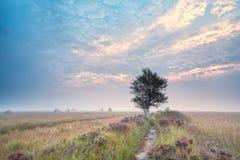 在开花的欧石南丛生的荒野的桦树在日出 图库摄影