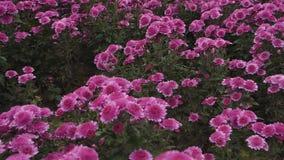 在开花的淡紫色菊花的低速飞行 股票视频
