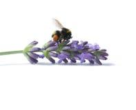 在开花的淡紫色的土蜂 免版税库存照片
