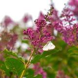 在开花的淡紫色花的一只蝴蝶 免版税库存图片
