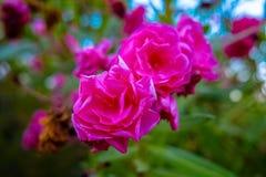在开花的灌木的特写镜头视图与玫瑰 库存图片