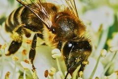 在开花的灌木的蜂 免版税库存图片