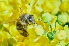 在开花的灌木的蜂 免版税图库摄影