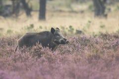 在开花的石南花的野公猪 免版税图库摄影