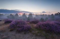 在开花的石南花的镇静有雾的日出 免版税图库摄影