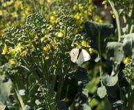 在开花的硬花甘蓝茎的圆白菜飞蛾 免版税库存照片