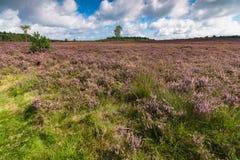在开花的紫色欧石南丛生的荒野之间的高生产的李子草 库存照片