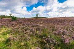 在开花的紫色欧石南丛生的荒野之间的高生产的李子草 图库摄影