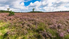 在开花的紫色欧石南丛生的荒野之间的高生产的李子草 库存图片