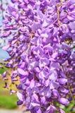 在开花的紫藤 免版税图库摄影