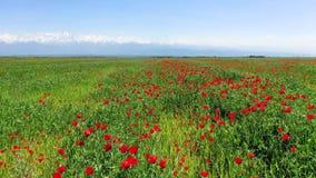 在开花的红色鸦片的领域,哈萨克斯坦的飞行