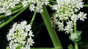 在开花的绿色玫瑰色金龟子甲虫hogweed 影视素材