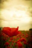 在开花的美丽的红色鸦片花在日落天空下 免版税库存图片