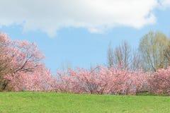 在开花的自然sunshin的春天桃红色开花的苹果树 免版税库存图片