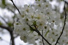 在开花的花樱桃 免版税库存图片
