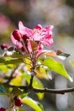 在开花的苹果树关闭的桃红色花 免版税库存图片
