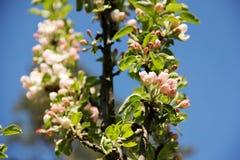 在开花的苹果树分支 免版税库存图片