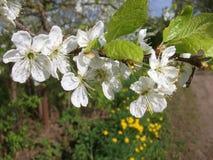 在开花的苹果树分支 免版税库存照片
