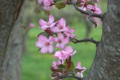 在开花的苹果树在春天 库存图片