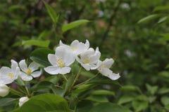 在开花的苹果树有桃红色和白花的19751 免版税库存照片