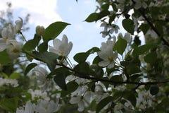 在开花的苹果树有桃红色和白花的19753 库存照片