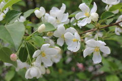 在开花的苹果树有桃红色和白花的19752 库存照片