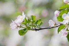 在开花的苹果树 图库摄影