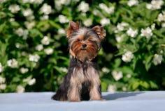 在开花的茉莉花背景的约克小狗  免版税库存图片