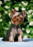 在开花的茉莉花背景的约克小狗  免版税库存照片