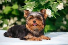 在开花的茉莉花背景的约克小狗  图库摄影