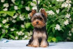 在开花的茉莉花背景的约克小狗  库存图片