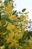 在开花的菩提树分支反对天空初 免版税图库摄影