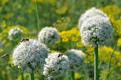 在开花的葱和莳萝的工作的蜂 免版税库存图片