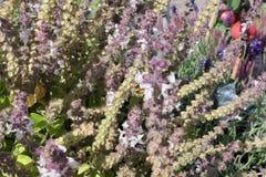 在开花的蓬蒿草本的欧洲羊毛梳刷的人蜂 野生孤零零蜂 影视素材