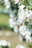 在开花的蜂蜜蜂 免版税库存图片