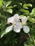 在开花的蜂 免版税库存照片