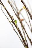 在开花的褪色柳 库存图片