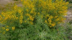 在开花的金合欢Vahellia南非洲的干燥台地高原灌木的黄色花在狂放的自然 股票录像