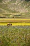 在开花的阵营的干草捆在Castelluccio二诺尔恰 库存照片