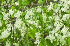 在开花的鸟樱桃结构树 免版税库存照片
