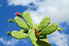 在开花的仙人掌花 免版税库存图片