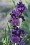 在开花的黑暗的紫罗兰色虹膜 免版税库存照片