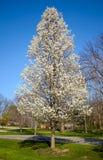 在开花的结构树 免版税库存图片