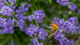 在开花的蝴蝶 免版税库存照片
