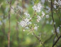 在开花的appletree的白花 免版税库存图片