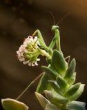 在开花花的绿色螳螂在棕色背景 免版税库存图片