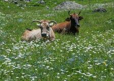 在开花草甸的反刍母牛 库存图片