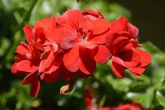 在开花,捷克,欧洲的红色大竺葵花 免版税库存照片